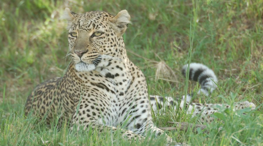 African-Leopard-African-Animals - List: 20 Must See African Animals When on an African Safari