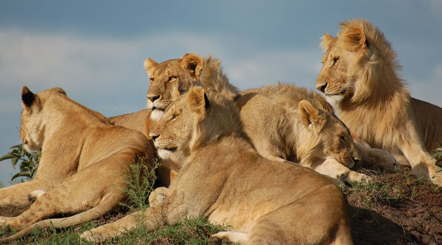 African-Lions - List: 20 Must See African Animals When on an African Safari