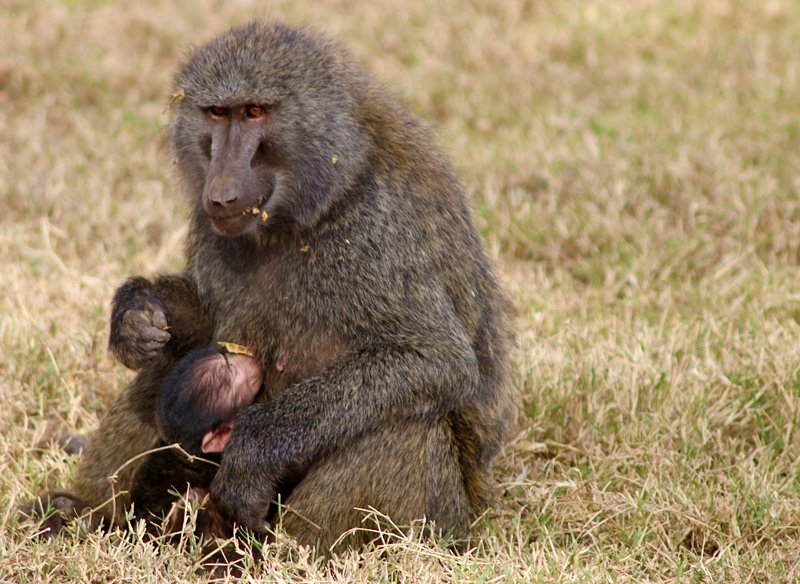 Baboons - List: 20 Must See African Animals When on an African Safari