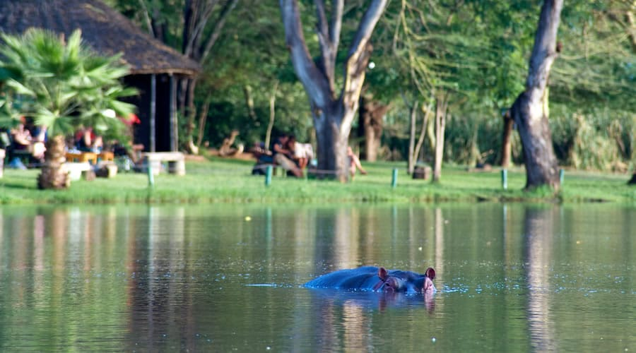 Hippo-African-Animals - List: 20 Must See African Animals When on an African Safari