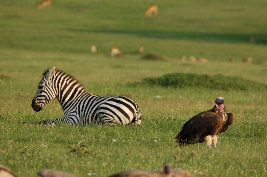 Vultures-e1548240678668 - List: 20 Must See African Animals When on an African Safari
