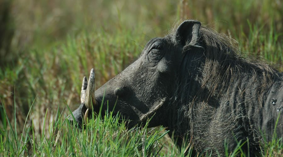Warthogs-African-Animals - List: 20 Must See African Animals When on an African Safari