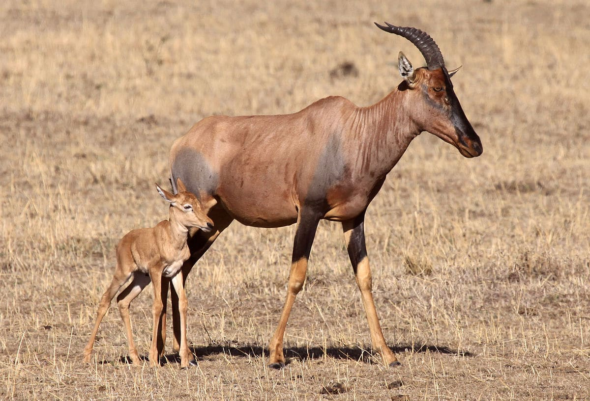 topi - List: 20 Must See African Animals When on an African Safari